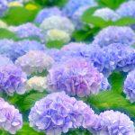 母の日に紫陽花を贈る意味、花言葉やおすすめ品種もご紹介!