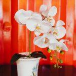 母の日に胡蝶蘭がおすすめな理由は?豪華な贈り物はいかがですか?